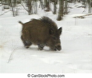 Wild boar snow winter - Wild boar walk on snow in winter....