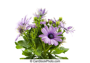 Osteospermum flower on white
