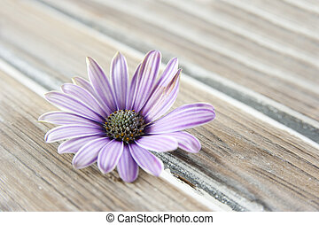 osteospermum - Osteospermum on wood