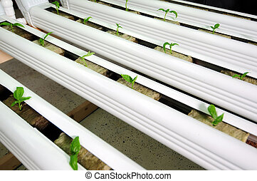 hydroponics farm - Vegetable plants cultivating and growing...