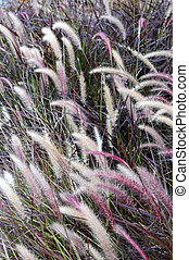 Ornamental grass - Beautiful plants blowing in field in...
