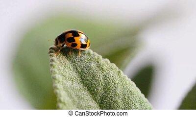 Ladys beetle on a sage leaf