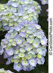 blue hydrangea in flower - hydrangea mophead blue flower...