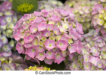 pink hydrangea flowers - hydrangea flower head in bloom pink...