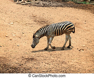 Young zebra in the zoo