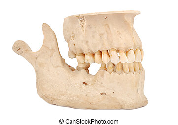 human jaw on a white background