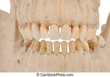 human jaw - model of human teeth on a white background