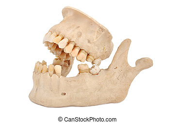model of human jaw - model of human teeth on a white...