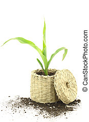 New life. Corn plant growing in a basket