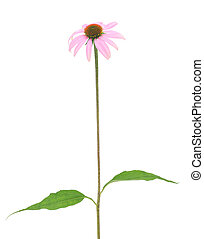 purple coneflower-echinacea - Purple...