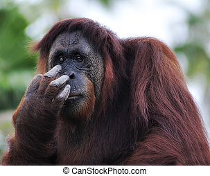 Orangutan (Pongo pygmaeus) portrait - Orangutan (Pongo...
