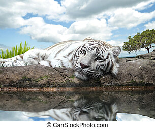 White Tiger - A White Tiger On A Rock By The Water