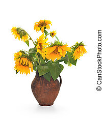 Withering sunflowers in a jug. Isolated over white...