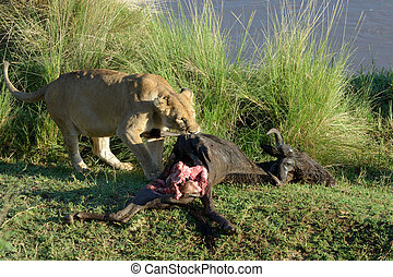 Lion with a killed wildebeest