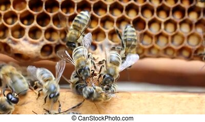 Extreme situation in the colony - Bees cover the damaged...