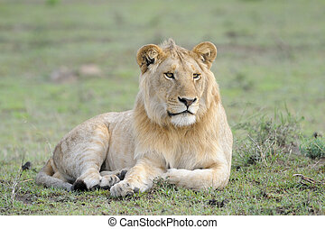 Young male Lion lying in grass.