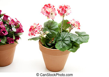 Geranium in the flowerpot on white background