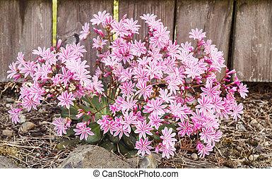 Wild Pink Azalea Bush - A wild pink azalea bush in full...
