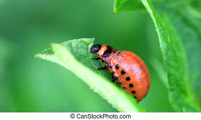 Colorado Potato Beetle Larva, Leptinotarsa Decemlineata