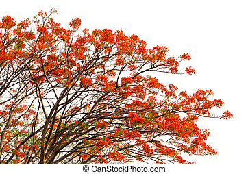 Peacock flowers on poinciana tree and white background