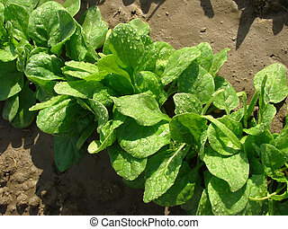 spinach with water drops - spinach row growing on the...