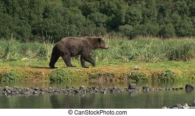 Grizzly Bear walking on riverbank