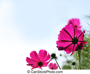 Pretty pink mexican aster or garden cosmos flowers on a...