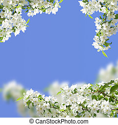 blossoming apple tree spring photo