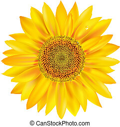 Gold Sunflower, Isolated On White Background, Vector...