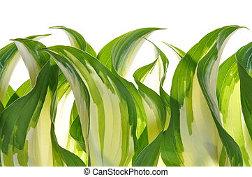 Hostas leaves decoration green plant