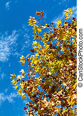 Sycamore - Photo of a sycamore tree in autumn