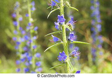 Greek valerian Polemonium caeruleum Medicinal plant