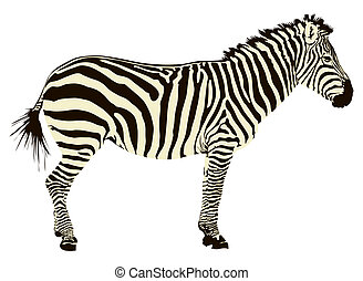 Zebra - Two color vector illustration of zebra profile...