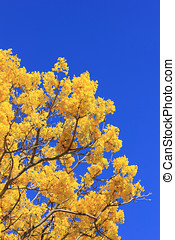 Yellow Jacaranda tree - Bright yellow Jacaranda tree against...