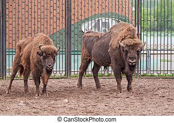 A pair of wisents (Bison bonasus)