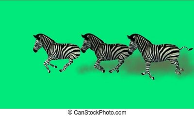 a group of zebra running with green screen