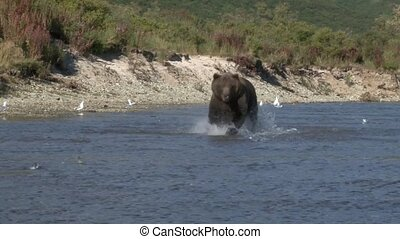 Grizzly Bear running towards camera