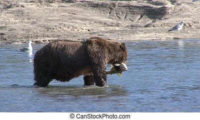 Grizzly Bear walking through river with salmon in mouth