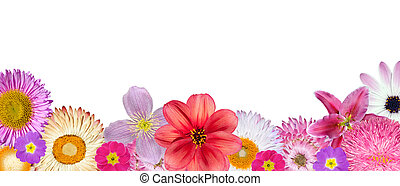 Various Pink, Red, White Flowers at Bottom Row Isolated on White Background. Selection of Strawflower, Clematis, Daisy, Dahlia, Primrose, English Daisy