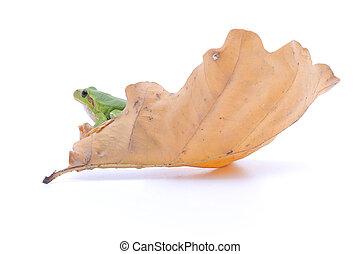Gaudy Leaf Tree Frog - Green frog on a big yellow leaf