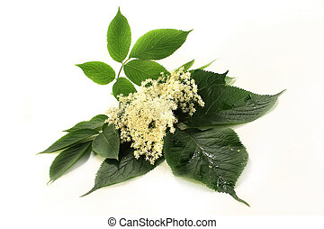 elderberry flowers - Elderberry flowers and leaves on white...