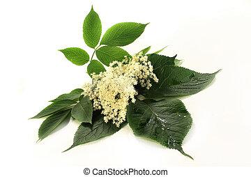 elderberry flowers - Elderberry flowers and leaves on white...