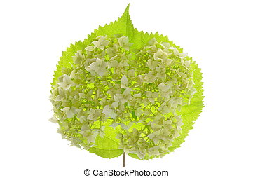 Hydrangea flower on leaf isolated
