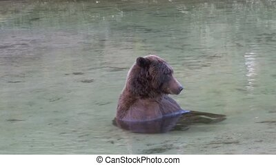 Grizzly Bear relaxing in the water