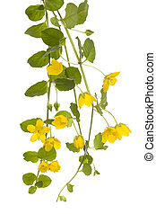 creeping jenny - yellow flower Lysimachia nummularia on...