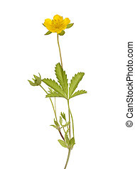 buttercup - yellow buttercup(Potentilla reptans) on white...