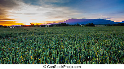 Sunrise and wheatfield  - Sunrise in rural Switzerland