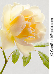 Yellow rose high key - Yellow rose flower taken against a...
