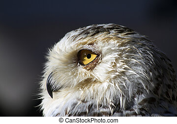 Snowy owl - closeup of the head of a Snowy owl taken in the...