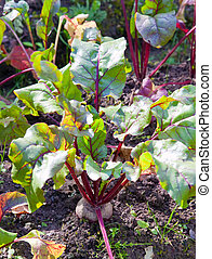 Bed in a garden with beet